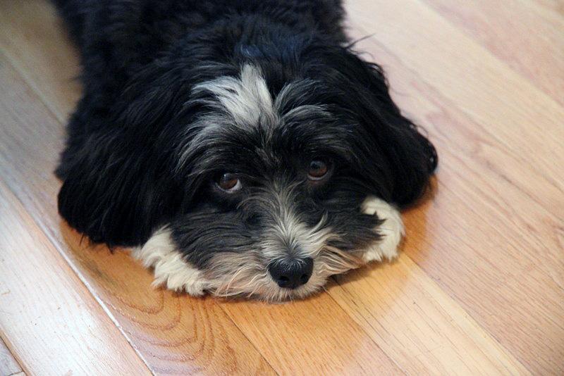 Riley with wood floor